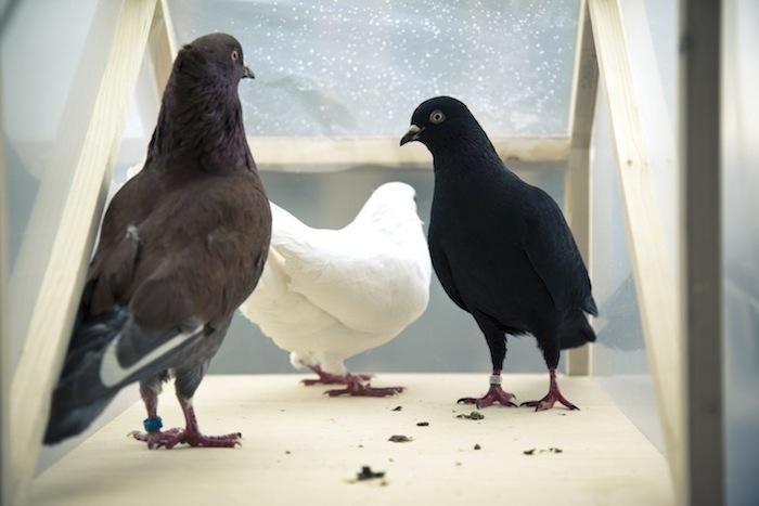 Туур Ван Бален (Бельгия). «Золотой голубь», 201...