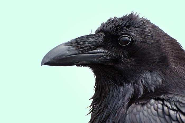 Факт дня: *и все-таки, вороны умнее млекопитающих*