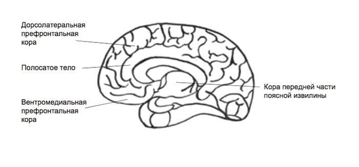 области мозга, относящиеся кмудрости
