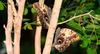 Бабочка Caligo— рисунок наее крылья...