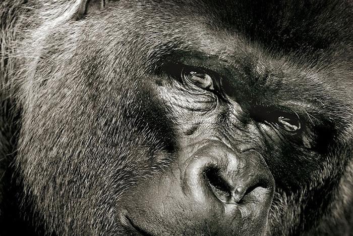 «Грязный Джек, дай пить!»: *как ученые научили обезьян говорить и что это значит для науки*