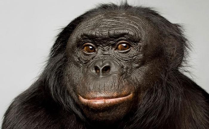 Канзи. © National Geographic/Vince Musi