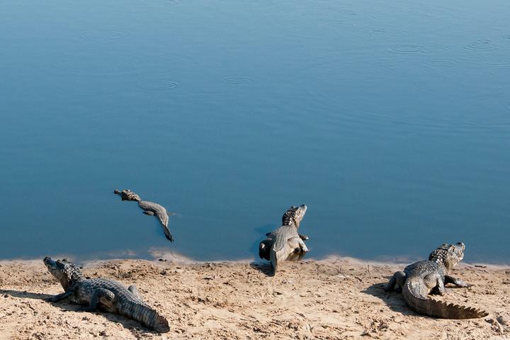 «Три дня я болтался на каяке»: *зоолог Владимир Динец о «песнях» крокодилов в Южной Америке*