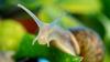 Садовая улитка. © iStock