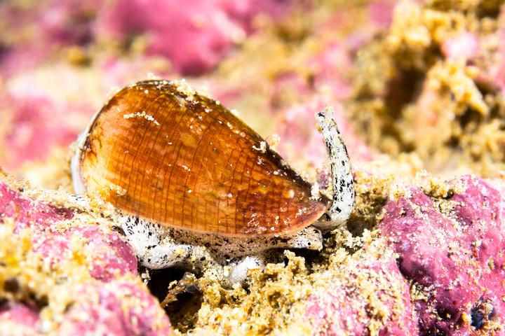 Калифорнийский брюхоногий моллюск изсемей...