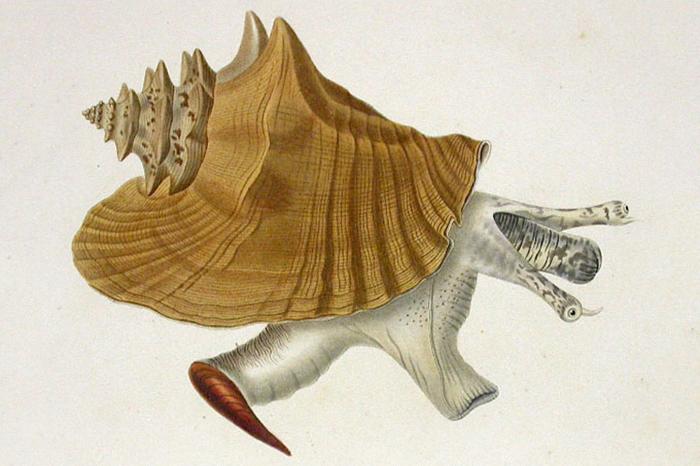 Гигантский стромбус. Рисунок 1834года