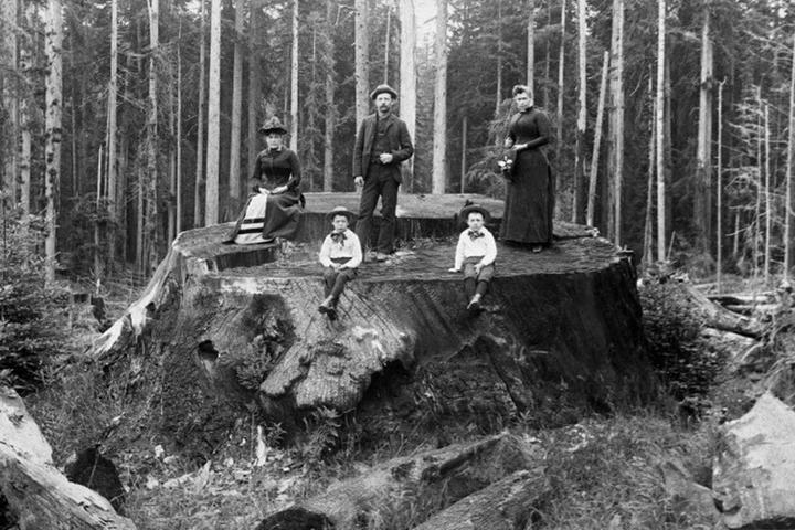 Марк Твен и реликтовая лихорадка: как исчезали самые большие и древние деревья в мире
