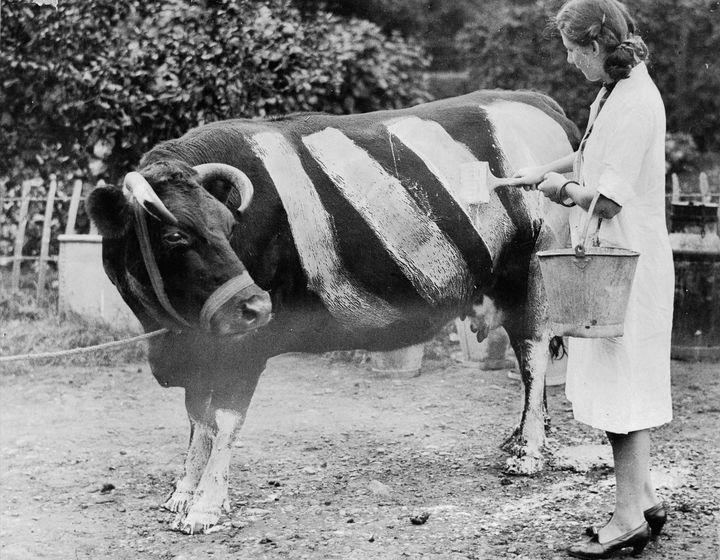 Корову раскрашивают, чтобы предотвратить ночные...