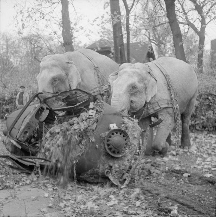 Цирковые слоны Кири иМэни убирают поврежд...