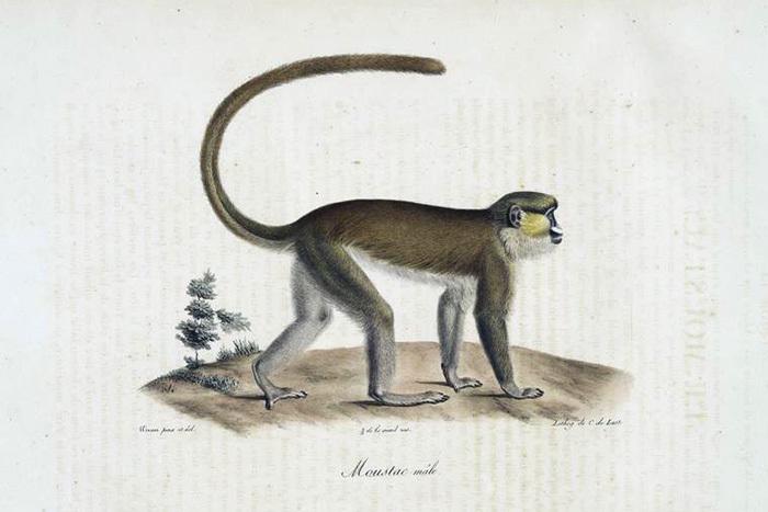 Голуболицая мартышка, самец. Жорж Кювье. 1824&n...