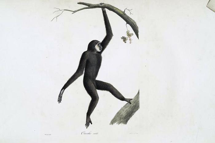 Чернорукий гиббон, самец. Жорж Кювье. 1824&nbsp...