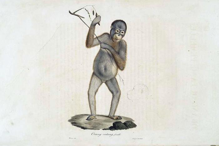 Орангутан, самка. Жорж Кювье. 1824год