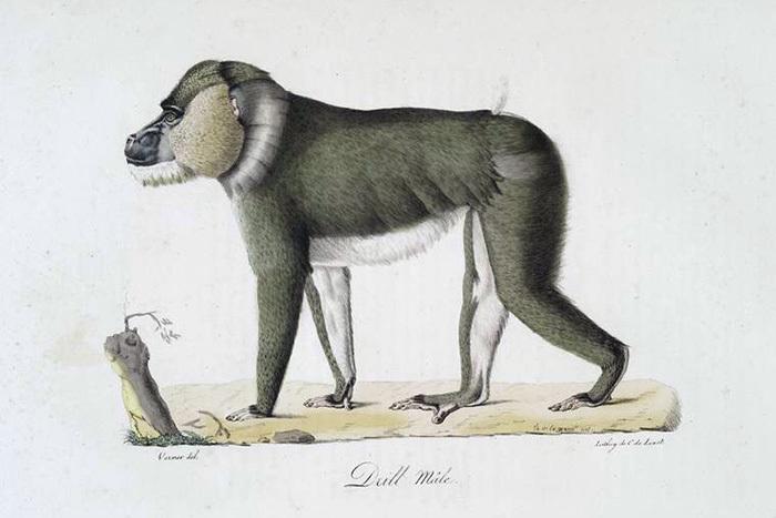 Бабуин, самец. Жорж Кювье. 1824год