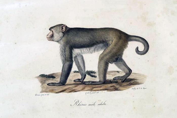 Макак-резус, самец. Жорж Кювье. 1824год