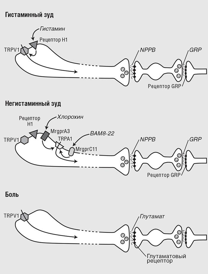 Два различных пути С-волокон призуде в&nb...