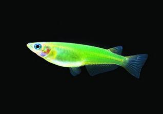 Как заставить рыбу светиться: *трансгенные эксперименты над животными*
