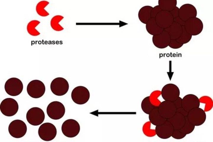 Зачем нам ферменты, расщепляющие белки?