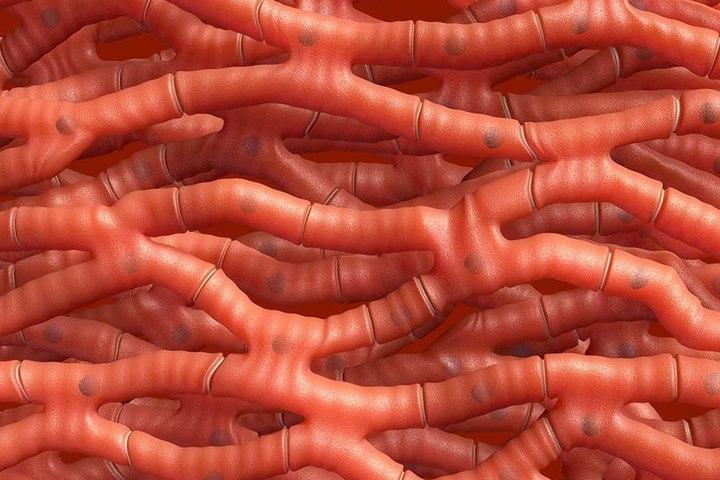 Строение клетки сердечной мышцы - кардиомиоцита