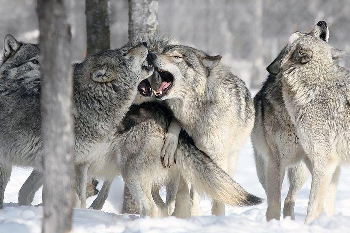 Социальная жизнь псовых: как и с кем общаются волки, и как обстоит дело у собак?